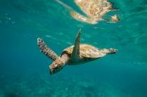 Turtle on Halik reef, our house reef